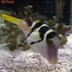 Иглобрюх Валенитина Canthigaster valentini