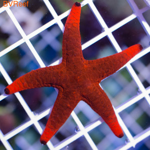 Звезда красная Fromia elegans