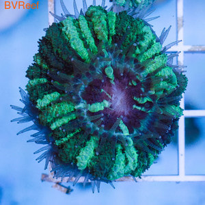 Акантастрея лорди зеленая Acanthastrea lordhowensis WYSIWYG
