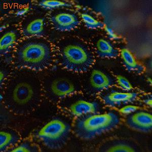 Зоантусы фиолетовые с оранжевым центром