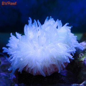 Актиния песчаная Stoichatis anemone