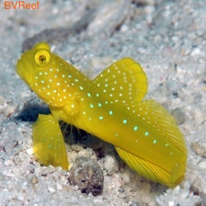 Бычок желтый креветочный Cryptocentrus cinctus