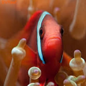Клоун томатный Amphiprion frenatus