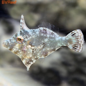 Единорог-акреихт Acreichthys tomentosus
