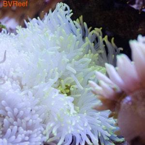 Актиния белая Heteractis crispa anemone