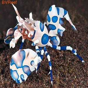 Креветка-арлекин пятнистая Hymenocera picta