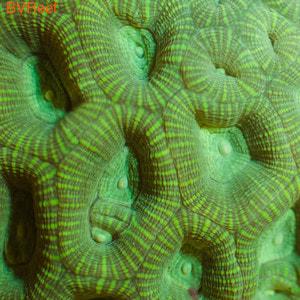 Фавитес зеленый