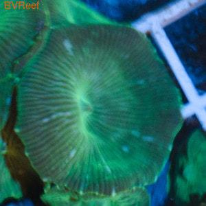 Дискосома зеленая