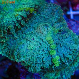 Родактис зеленый Rhodactis sp.
