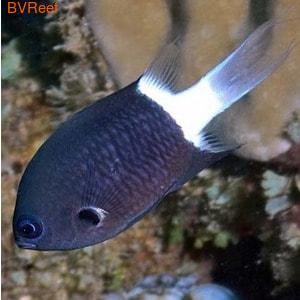 Хромис чернополосый Chromis retrofasciata