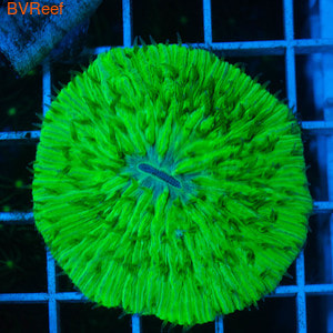 Фунгия ультра зеленая Plate coral