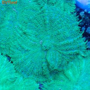 Родактис ультра зеленый