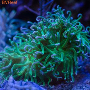 Актиния макродактила доренсис ультра зеленая Long Tentacle anemone - Metallic Green