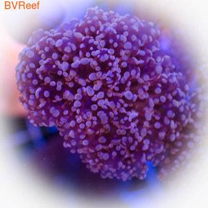 Эуфиллия цветочная розовая анкора , Euphyllia Glabrescens