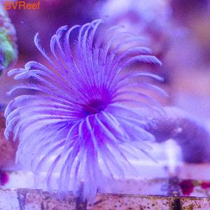 Веерный червь Сабеластарта красная/белая (Sabellastarte sp.)