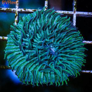 Фунгия неоновая Plate Corals