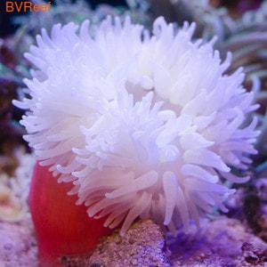Актиния длинощупальцевая красноногая Macrodactyla doreensis