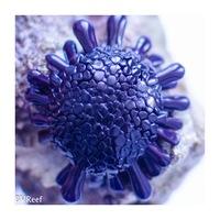 Б11 Еж панцирный Colobocentrotus atratus 800
