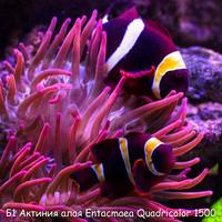 Б1 Актиния алая Entacmaea Quadricolor 1500